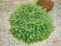 Picea abies 'Zahradka'