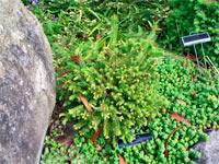 Picea abies 'Zajecice'