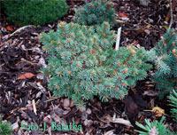 Picea abies 'Zalesi Nr1'