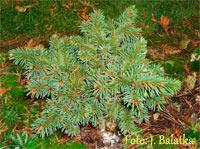 Picea abies 'Zaluzi'