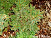 Picea abies 'Zbysov'