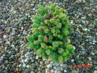 Picea abies 'Zdikov Nr1'