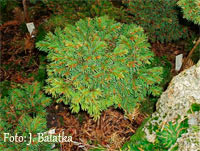 Picea abies 'Zelivka'