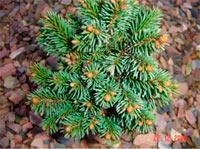 Picea abies 'Zillertal-Nr2'