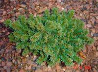 Picea abies 'Zlichov'