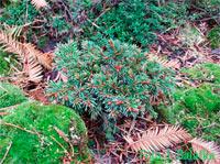 Picea abies 'Zurkuv Les'