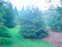 Picea asperata 'Mutabilis'