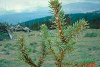 Picea asperata var. notabilis