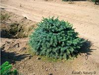 Picea bicolor 'Prostrata'