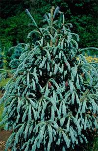 Picea engelmannii 'Blue Magoo'