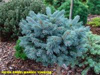 Picea engelmannii 'Cineiga'