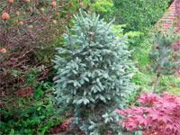 Picea engelmannii 'Compacta'