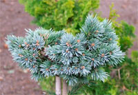 Picea engelmannii 'Heike'