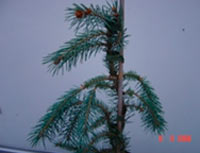Picea engelmannii 'Lace'