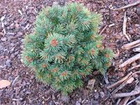 Picea engelmannii 'Lobo'