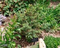 Picea engelmannii 'Nicola'