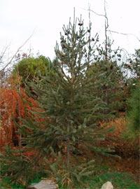 Picea engelmannii 'Snake'