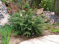 Picea engelmannii 'Squaw Pass'