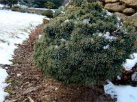 Picea engelmannii 'Talbot Lake'