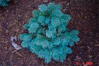 Picea engelmannii 'Tiny'
