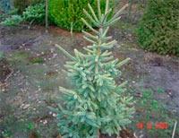 Picea glauca 'Aurea'
