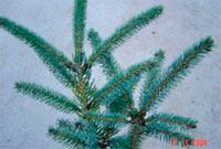 Picea glauca 'Blue Star'