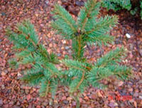Picea glauca 'Burke W.B.'