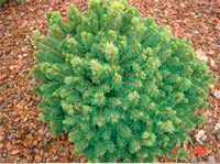 Picea glauca 'Cy's-Wonder'