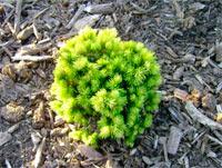 Picea glauca 'Dendrofarma Gold'