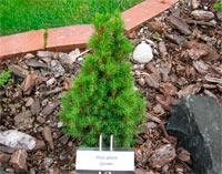 Picea glauca 'Gnome'