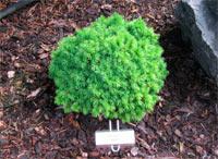 Picea glauca 'Hobbit'