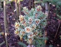 Picea glauca 'Holata'