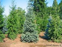 Picea glauca 'Hudsonii'