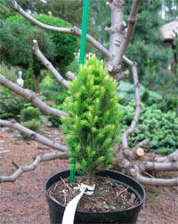 Picea glauca 'Iskra'
