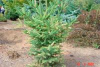 Picea glauca 'Ken's Variegated'
