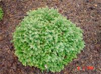 Picea glauca 'Little Gem'