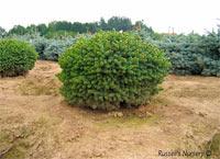 Picea glauca 'Little Globe'