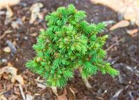Picea glauca 'Mini Typ'