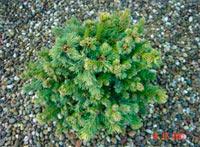 Picea glauca 'Minitip'