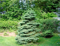 Picea glauca 'Ore'