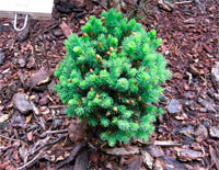 Picea glauca 'Palocek'