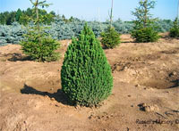 Picea glauca 'Pixie'