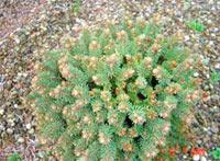 Picea glauca 'Plecek'