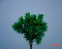 Picea glauca 'Spring Suprise'