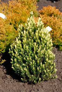 Picea glauca 'Vanillaice'