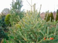 Picea glauca 'Xawery'