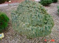 Picea glauca var. albertiana H.B. Nr.3