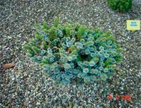 Picea jezoensis 'Kalous'
