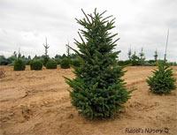 Picea jezoensis 'Landis'