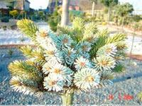 Picea jezoensis 'Vetsi'